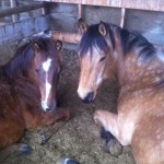 Toni Harris's horses - Canada Ziggy and Jo left to right